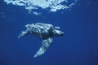 泳ぐオサガメ 32236000576| 写真素材・ストックフォト・画像・イラスト素材|アマナイメージズ