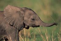 アフリカゾウの子