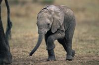 母親のあとをついて歩くアフリカゾウの子 32236000621| 写真素材・ストックフォト・画像・イラスト素材|アマナイメージズ