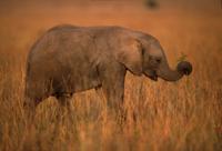 鼻で草をつかむアフリカゾウの子