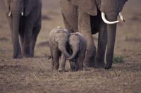 鼻をからませ合う二頭のアフリカゾウの子