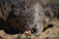歯で卵を割り、孵化を助けるナイルワニ 32236000774  写真素材・ストックフォト・画像・イラスト素材 アマナイメージズ