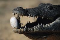 歯で卵を割り、孵化を助けるナイルワニ 32236000777  写真素材・ストックフォト・画像・イラスト素材 アマナイメージズ