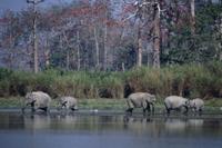 水を飲むインドゾウの群れ