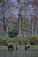川で水を飲むインドゾウ