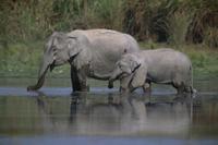 水を飲むインドゾウの親子