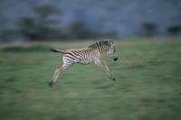 走るサバンナシマウマ(グラントシマウマ)の子