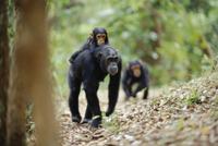 子を背に乗せて歩くチンパンジーとついてくる兄弟