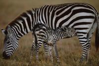 母乳を飲む生後間もないサバンナシマウマ(グラントシマウマ)の