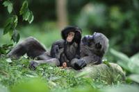 休息するチンパンジーの親子 32236000967  写真素材・ストックフォト・画像・イラスト素材 アマナイメージズ