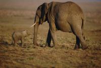 アフリカゾウの母子 32236000968| 写真素材・ストックフォト・画像・イラスト素材|アマナイメージズ