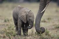 採餌する母親の鼻近くにいるアフリカゾウの子 32236000969| 写真素材・ストックフォト・画像・イラスト素材|アマナイメージズ