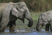 水を飲むインドゾウの母子 32236000970| 写真素材・ストックフォト・画像・イラスト素材|アマナイメージズ