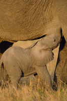 母乳を飲むアフリカゾウの子