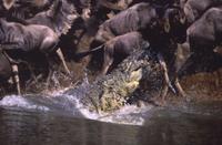 オグロヌーを襲うナイルワニ 32236001060| 写真素材・ストックフォト・画像・イラスト素材|アマナイメージズ