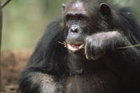 蟻塚から釣り上げたシロアリを食べるヒガシチンパンジー(亜種)
