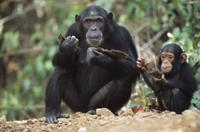 樹皮を食べるヒガシチンパンジー(亜種)の親子 32236001094  写真素材・ストックフォト・画像・イラスト素材 アマナイメージズ