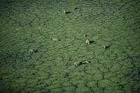 湿地で採食するアフリカゾウ (空撮)