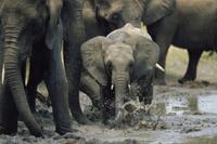 泥を浴びるアフリカゾウの子 32236001125| 写真素材・ストックフォト・画像・イラスト素材|アマナイメージズ