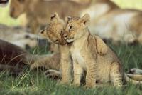 じゃれ合う二匹のライオンの子 32236001149| 写真素材・ストックフォト・画像・イラスト素材|アマナイメージズ