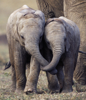 鼻を絡ませ合うアフリカゾウの子