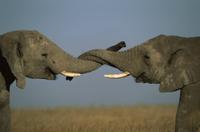 鼻を絡ませケンカするアフリカゾウ