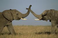 ケンカするアフリカゾウ