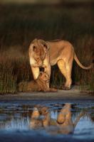 ライオンの母子 32236001218  写真素材・ストックフォト・画像・イラスト素材 アマナイメージズ