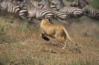 サバンナシマウマ(グラントシマウマ)の群れを追いかけるライオ 32236001224  写真素材・ストックフォト・画像・イラスト素材 アマナイメージズ