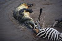 シマウマの死骸を食べるナイルワニ 32236001230| 写真素材・ストックフォト・画像・イラスト素材|アマナイメージズ