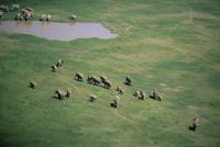 水場に向かうアフリカゾウの群れ (空撮)