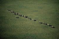 一列になって湿地を横切るアフリカゾウ (空撮)