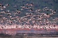 コフラミンゴの群れの飛翔 32236001248| 写真素材・ストックフォト・画像・イラスト素材|アマナイメージズ