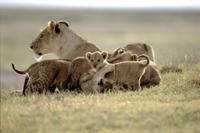 ライオンの母子 32236001322  写真素材・ストックフォト・画像・イラスト素材 アマナイメージズ