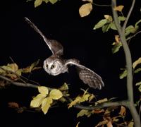 キンメフクロウの飛翔