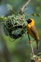 巣を作るノドグロキハタオリのオス