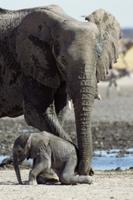 赤ちゃんの世話をするアフリカゾウのメス