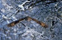 雪の中を飛ぶトラフズク