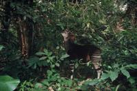 森の中で木の葉を食べるオカピ