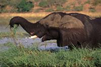 水辺で草を食べるアフリカゾウ