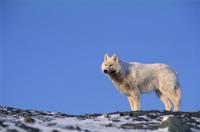 ホッキョクオオカミ 32236001492| 写真素材・ストックフォト・画像・イラスト素材|アマナイメージズ
