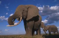 草を食べるアフリカゾウ