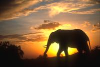 夕日に浮かび上がるアフリカゾウのシルエット