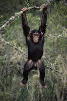 木からぶら下がって遊ぶチンパンジーの子