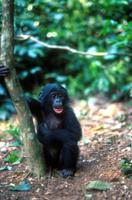 ボノボ(ピグミーチンパンジー)の子