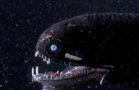 ムラサキホシエソの顔(深海魚) 32236001557  写真素材・ストックフォト・画像・イラスト素材 アマナイメージズ