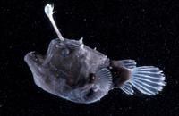 チョウチンアンコウの仲間のメス(深海魚)