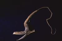 フクロウナギ(標本:深海魚) 32236001581  写真素材・ストックフォト・画像・イラスト素材 アマナイメージズ