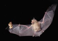夜、飛びながらガを捕まえるキクガシラコウモリ