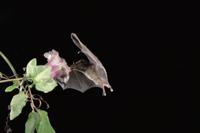 飛びながら花蜜を食べるシタナガコウモリの仲間